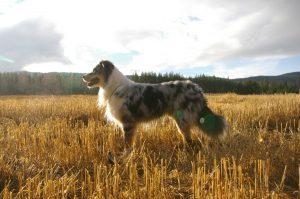 Australian Shepherd Miro