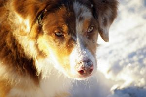Australian Shepherd breeders in Europe Lithuania Labanoris - Braso (1)