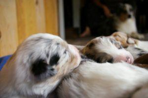 Australų aviganis šuniukai