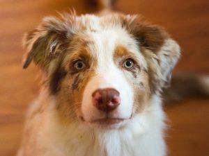 Australų aviganis - šuniukai suaugo Aura