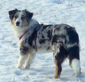 Australų aviganis - šuniukai suaugo Bondi