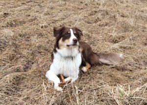 Australų aviganis - šuniukai suaugo Frank