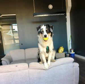 Australų aviganis - šuniukai suaugo Indi