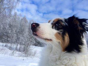 Australų aviganis - šuniukai suaugo Mistika