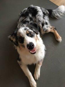 Australų aviganis - šuniukai suaugo Mukas