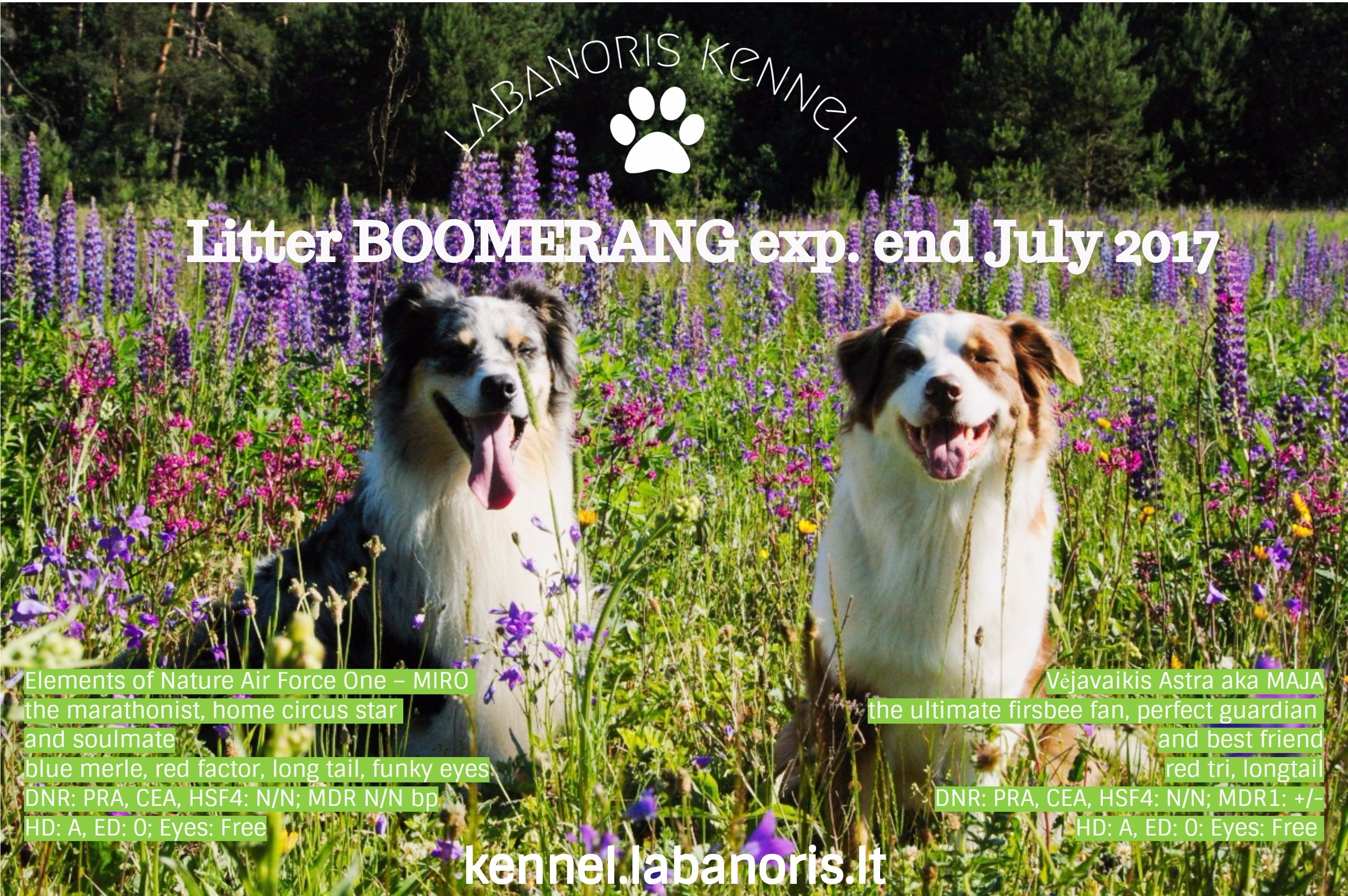 Australian Shepherd puppies Labanoris Boomerang - labanoris kennel