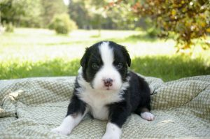 Australian Shepherd puppies Europe